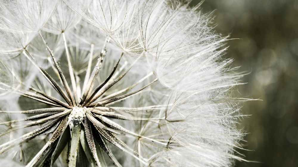dandelion-nature-flora-white-51426.jpeg